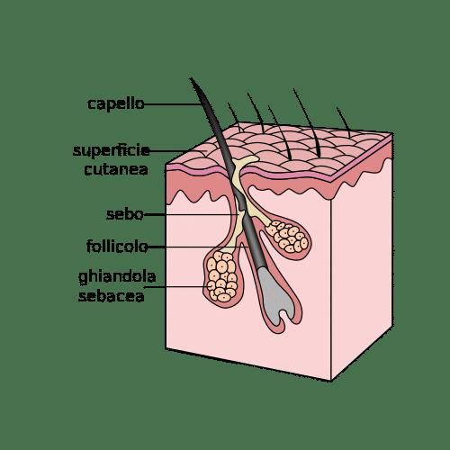 apparato pilosebaceo acne