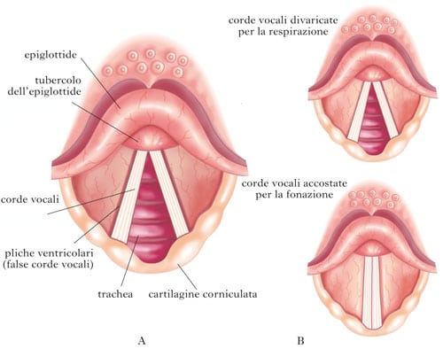 corde vocali