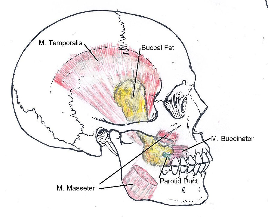 Buccal fat pad anatomy and location